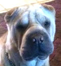 Betty White is living large in Gulfport, MS. Here's what her new mom had to say... Hello, I just want to thank you for allowing us to adopt Betty (now Isabelle). We changed her name because we have a shar-pei named Bently. She is beautiful. Izzy is very sweet and has fit in wonderfully with our other 2 peis. We will keep you posted.  Again, thanks for our new baby and for transporting her up the state of FL.