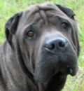 Brutus has found his happy home with his foster family in Ponte Vedra, FL. Way to go Brutus/Buddy. Special thanks to Geri and Bob. BRUTUS sends lots of  Pei luv & kisses to his Guardian Angels.