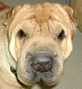 Buster (a.k.a. Satchel) was met with joy by his new mommy in Savannah, GA. He was such a good-looking and friendly boy, who wouldn't love him?! His forever person had considered a puppy, but now she knows that a rescued wrinkly is the best kind! He's going to be loved and spoiled in his new home.