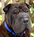 Ceelo/Zeplin has found his forever home in St Peterburg, FL. He now lives with his mom, dad and Shar-pei sister Eisa, who also was recently adopted from the rescue. Congratulations to the new family.