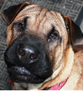 Chance has been given a second 'chance' at happiness in his new Port St Lucie home. He has a pei sister named Daisy May and 2 human siblings in his new forever home. This lucky little boy is our Christmas save and he has proved he is worth saving. Thanks Anthony for giving this great pei-bei a wonderful home.