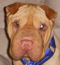 Chester Cheeto made his foster home his forever home with his great personality and looks. He moved right in and found his way into his foster family's heart. This is one lucky pei as he was dumped in a kill shelter and not even put up for adoption. Thanks to one of our great shelter friends, Denise, she contacted us to come and rescue this great little boy. Thanks to everyone for saving this super little pei boy.
