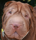 Chumley has been adopted... he is now living in Safety Harbor, Fl with another of our rescues that was adopted earlier this year!! Another Florida Sharpei Rescue success story.