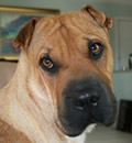 Ginger has gone to her forever home in Tampa, FL. Her new mom says... Ginger is doing great in her new home, she has adopted us as her forever family.  She is a keeper for sure, we just couldn't ask for a better pei for our family.