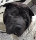 Maxwell has decided to stay in Hilliard, FL with his foster people. He loves them so much, and the feeling is mutual. Way to go Maxwell, and thanks for being such a great guy and allowing other foster dogs to hang out at your place! Maxwell also sends lots of sloppy Pei kisses to his Guardian Angel (EDY) a former FSPR rescue Pei.
