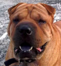 Hi, this is Ming reporting from Tavares, FL and my new home.  While I really enjoyed my vacation with my foster, I am glad I have a new job watching after my new person.  We go on nice walks and he tells me about where I live.  I have a great fenced in yard and just love to play in it.  I am training my human to play with my toys; he has learned to throw it when I give him one.  I keep a good watch on everything from the living room and through my peep hole in the fence.  Life is good but I can't wait for a ride in his yellow hotrod car.  Zoom Zoom!!