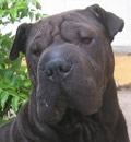 Mocha found the home she has been looking for.  She is adored!  Mocha has a wonderful mom and sharpei brother at home.