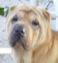 Sweet Nina will be living the good life with a fantastic couple in Palm Coast and some 4 legged siblings, a beloved Chow Chow and 2 kitties.