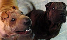 Punkin & Harley were adopted by a great family in Leesburg, FL. Along with their other sibling, Rosie, they are a happy 3 SharPei family!